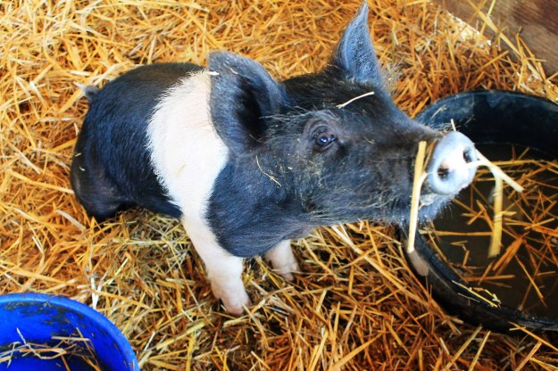 A pig at Weston Red Barn Farm in Weston, MO