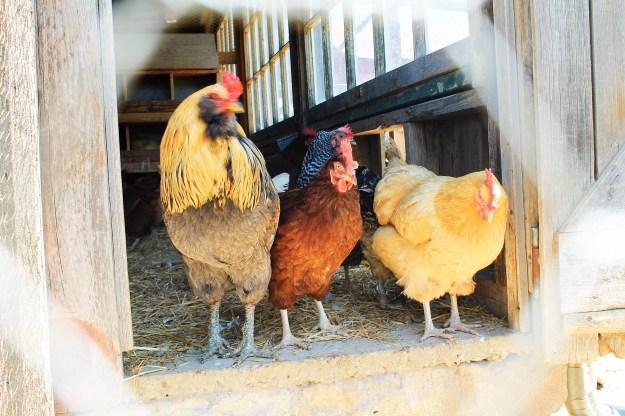 Chickens at Weston Red Barn Farm in Weston, MO