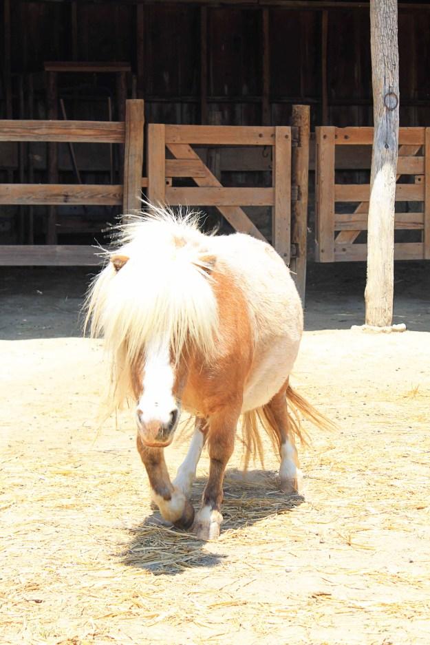 A mini horse at Weston Red Barn Farm