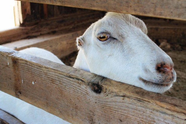 A goat at Weston Red Barn Farm in Weston, MO