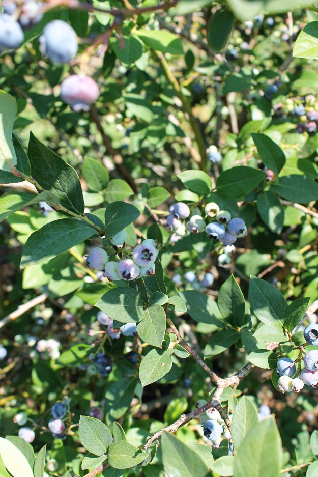 Blueberries at The Berry Patch in Kansas City, MO